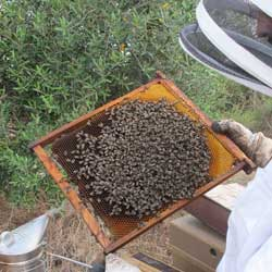agricola_abejas-(1)