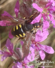 mezcla_semillas_02_anthidium2