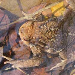 natural_bufo_spinosus_adulto